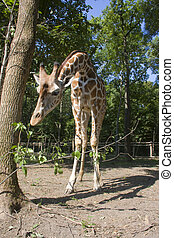 Reticulated giraffe - Reticulated giraffe (Giraffa...