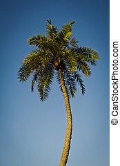 Palm Tree - Lone palm tree against a cloudless blue sky
