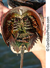 Horseshoe Crab Closeup - The under belly of a horseshoe crab...