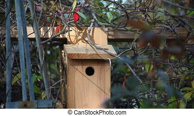nesting chickadee enters birdhouse - a songbird goes inside...