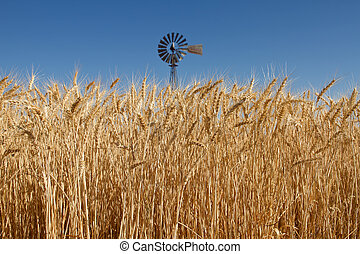 Wheat Grass in Farm Field with Windmill in Background