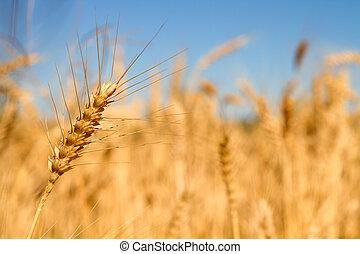 Wheat Grass in Farm Field Macro Background