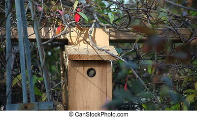 chickadee checks out birdhouse - a songbird appears in the...
