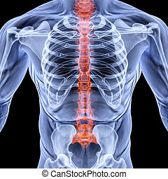 torso men under X-rays backbone is highlighted in red...