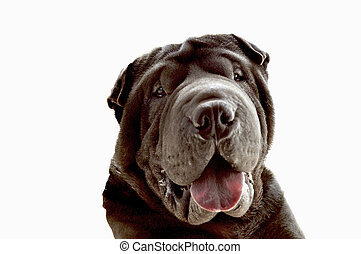 This is Bruno - A lovely sharpei showing his great smile