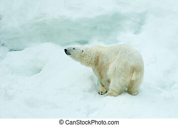 Polar bear - White polar bear against snow mountain