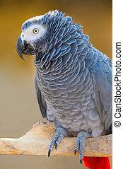 Grey parrot of Zhako (Psittacus erithacus) in zoo