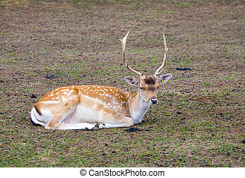 sika deer lies on the earth