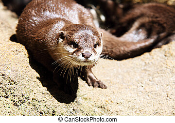 Lutra lutra - the European Otter Lutra lutra close up