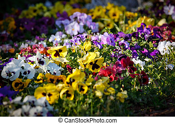 violet flowers - Multicolored violet flowers