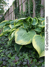 Hostas Growing Along Wall - Shade loving hosta plants...
