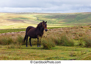 Exmoor Pony - An Exmoor pony in the Exmoor National Park,...