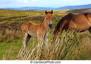 Exmoor Pony colt - Exmoor pony colt in the Exmoor National...