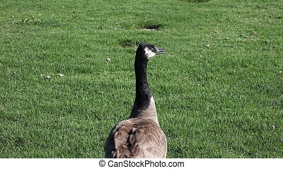 goose responding to call - a Canada goose answers another...