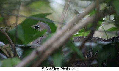 mourning dove on nest - a nesting dove on a fence among...