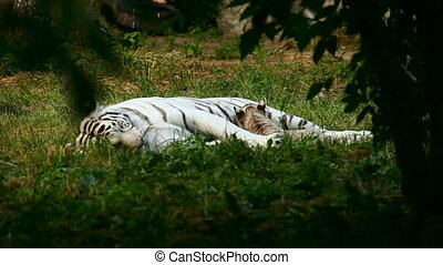 White tigress. - White tiger wiyh cub resting.
