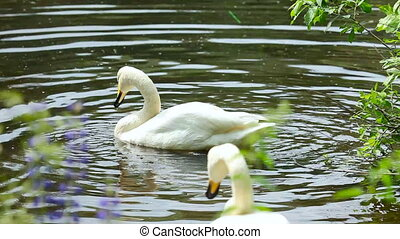 Swans. - Swans on the lake.