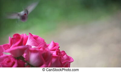 hummingbird in the roses - a hummingbird feeds, starts to...