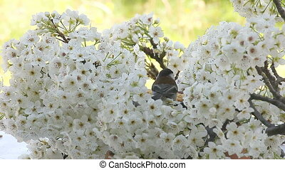 songbird in spring blossoms - a chickadee feeds from the...