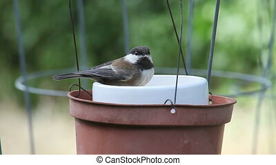 very young chickadee feeds - recently fledged bird sits in...