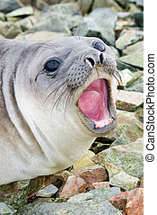 southern elephant seal shouts