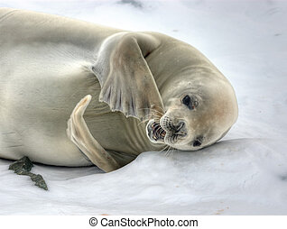 crabeater seal - Crabeater Seal loosing the fur at...