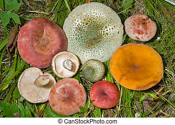 Mushrooms on grass 1 - A close up of the different edible...