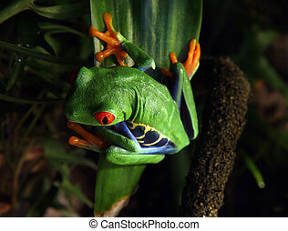 Red-eyed tree frog - A Red-Eyed Tree Frog Agalychnis...