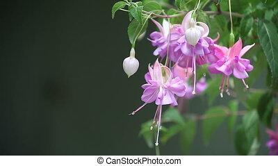lavender-colored fuchsia