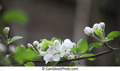 apple blossoms with copy space - pink and white blooms on a...