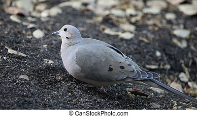 mourning dove feeding on seeds - a dove eats nyjer seeds on...