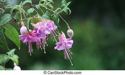 fuchsia flowers with space for text