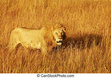 Masai Mara Lion - A lion Panthera leo on the Masai Mara...