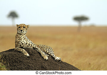 Masai Mara Cheetah - A cheetah (Acinonyx jubatus) on the...