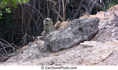 Long-tailed Macaque, Komodo island - Sitting Long-tailed...