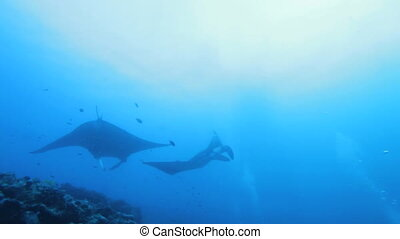 Mantas swimming circles, Maldives - Mantas Manta birostris...