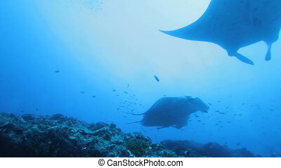Mantas swimming together, Maldives - Mantas Manta birostris...