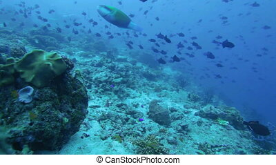 Migration of Red-tooth Triggerfish - Migration of...