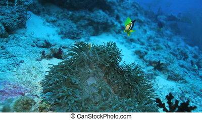Clownfish in anemon, Maldives - Ocellaris Clownfish...