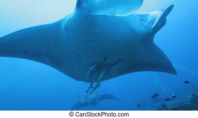 Close-up swimming big manta - Close-up movie of swimming big...
