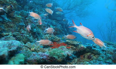School of Crown squirrelfishes (Sargocentron diadema),...