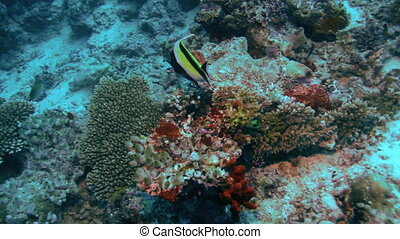 Feeding of moorish idol (Zanclus cornutus), Maldives....