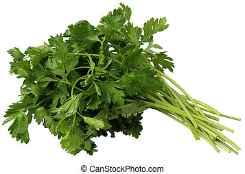 Coriander or Cilantro - Cilantro tied in a bunch with twine,...