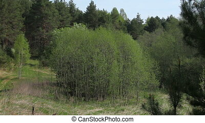 Fresh green of spring forest, Yaroslavl region, Russia...