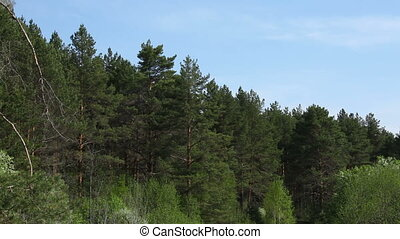 Big pine-trees moving, Russia