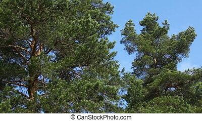 Big pine-trees moving, Russia Tripod shot, no camera move,...