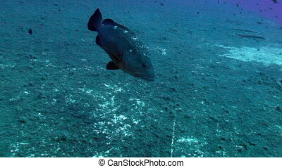 Zenobia shipwreck, Cyprus - Big Grouper swimming above...