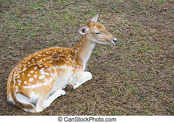 emale of a sika deer lies on the earth