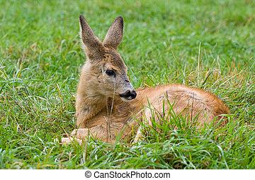 fallow deer against a green grass