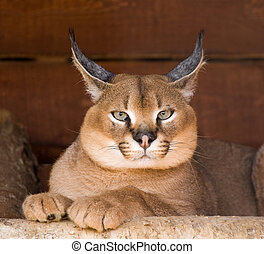 Caracal (an armor. Caracal caracal). A deserted (steppe)...